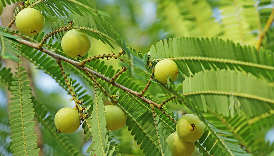 Amla - Indian Gooseberry