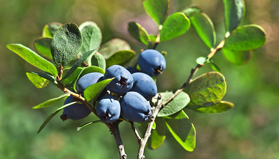 Bilberry, Blueberry